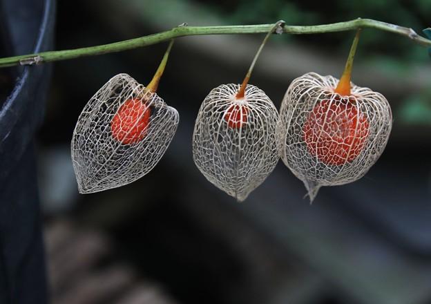 網のホウズキ三個