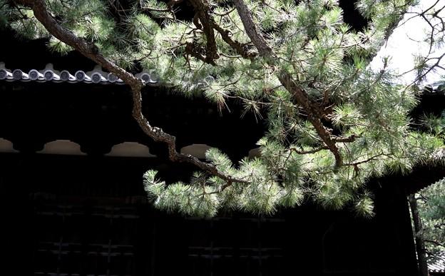 寺院の松への日差し