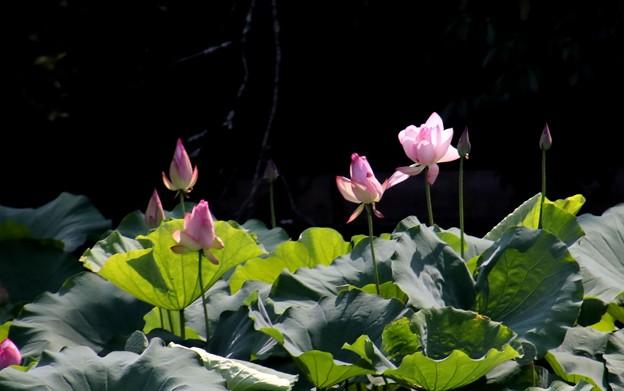 小倉池で咲く蓮の花