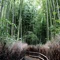 Photos: 嵯峨野 竹林の道