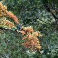 ピラカンサ実の枝のカワセミ