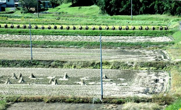 たんぼ 整列した藁乾燥風景