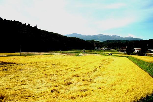 収穫期 田園風景