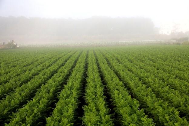 朝 濃霧の人参畑