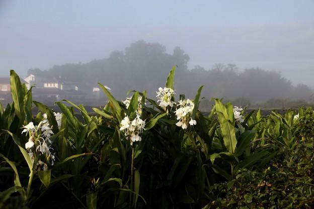 濃霧のなかの花ミョウガ