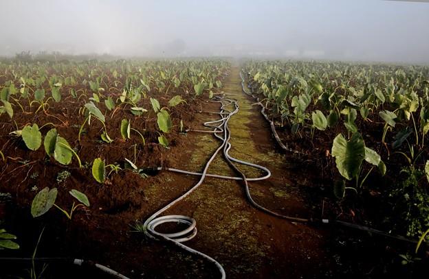 濃霧の朝の畑