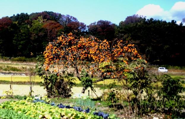 柿の木風景