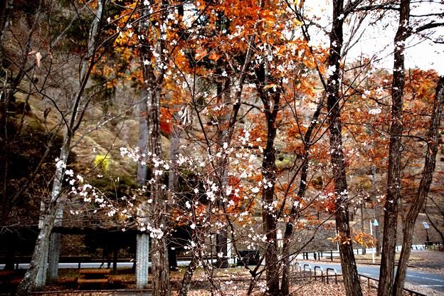 冬櫻と紅葉