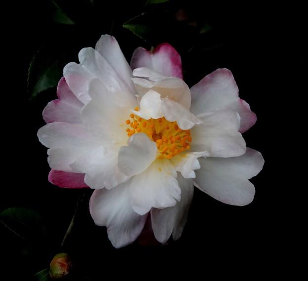 寒さに負けず咲く花(山茶花)