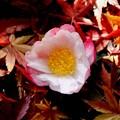 山茶花と落葉