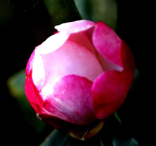 山茶花の蕾の色彩