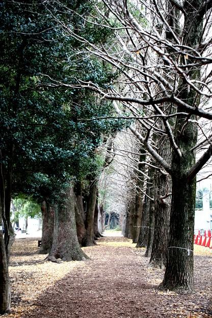 初冬の銀杏並木
