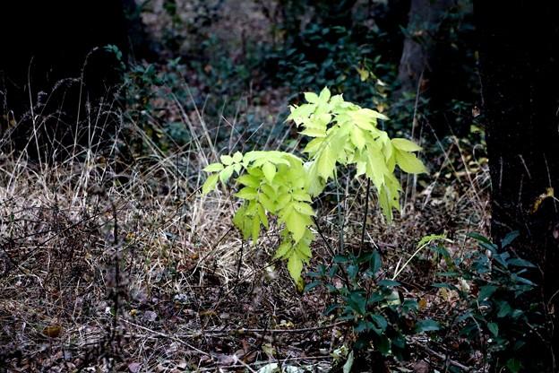 枯れ草の中の緑の葉