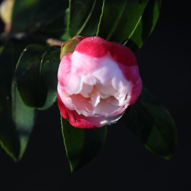 朝陽で冴える山茶花
