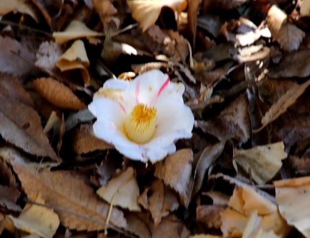 落葉のなかの椿の花