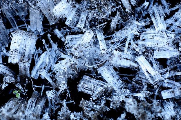 Photos: 今日の霜柱