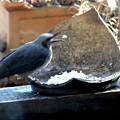 Photos: 餌場のヒヨドリ