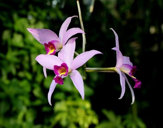 新宿御苑 大温室の花2