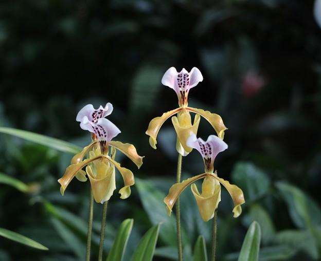 新宿御苑 大温室の花4