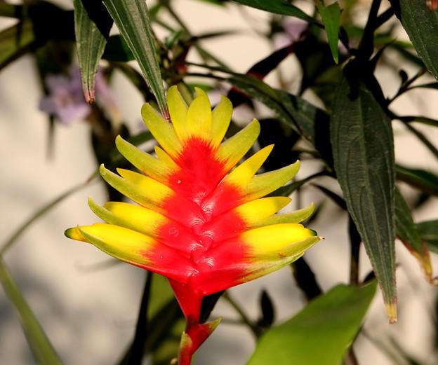 新宿御苑 大温室の花5