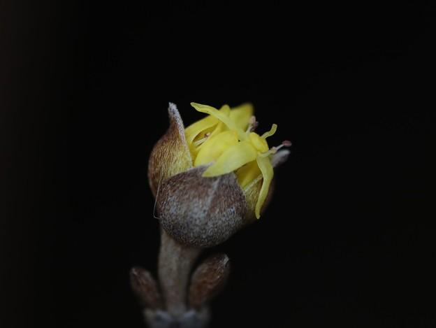 サンシュウユの花芽