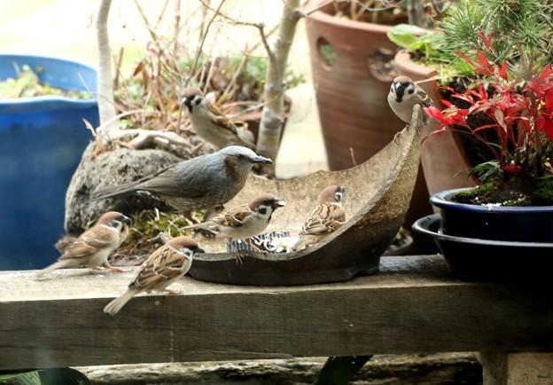 ヒヨドリと雀の一緒の食事