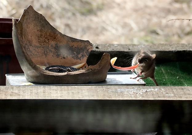ネズミも参戦リンゴの皮争奪戦