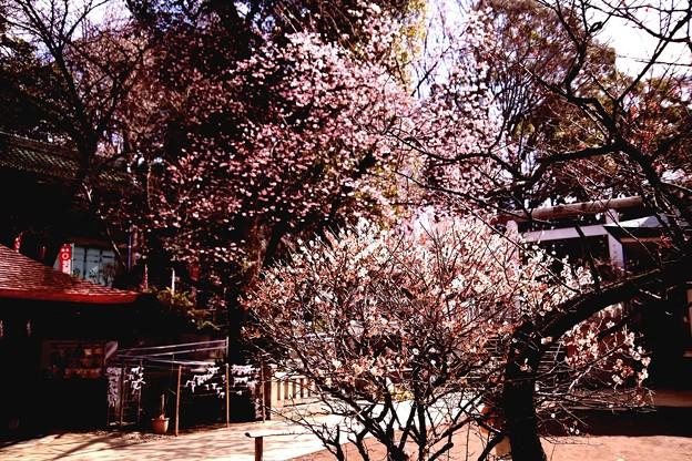 花園稲荷神社 梅風景(上野公園)