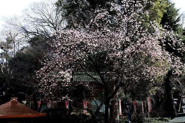 花園稲荷神社 梅満開(上野公園)