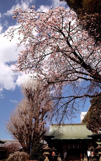 花園稲荷神社の櫻