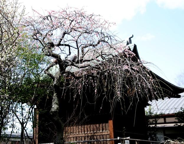 花園稲荷神社 梅(上野公園)