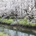 Photos: 桜咲く(川越市)