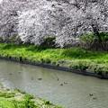 Photos: 新河岸川の桜咲き始める