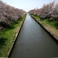 Photos: 新河岸川の桜風景