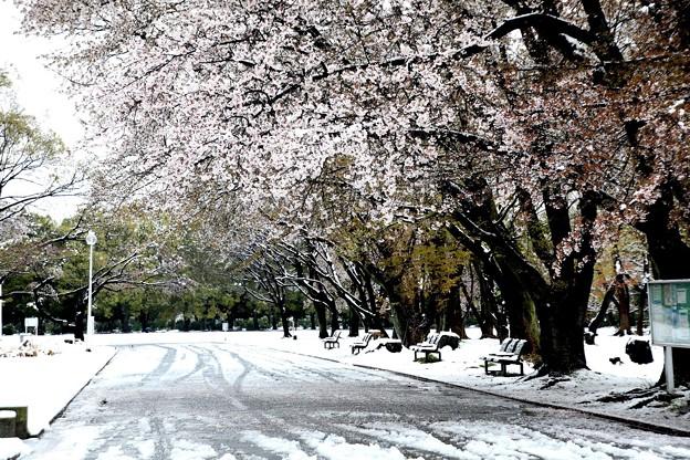 所沢航空公園の桜と雪