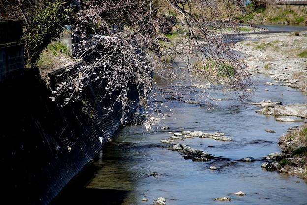 川の桜風景
