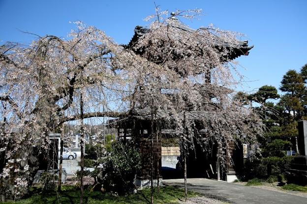 西光寺のしだれ桜1