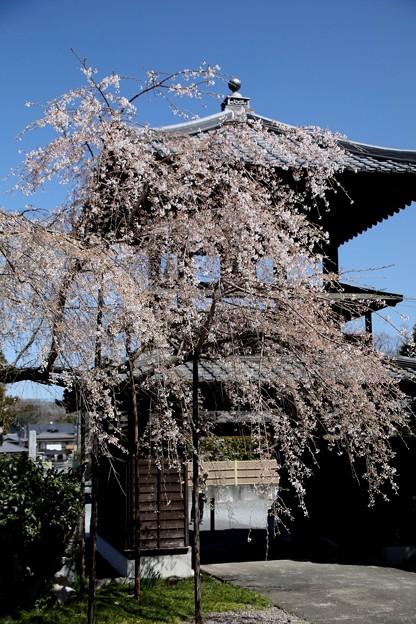 西光寺のしだれ桜3