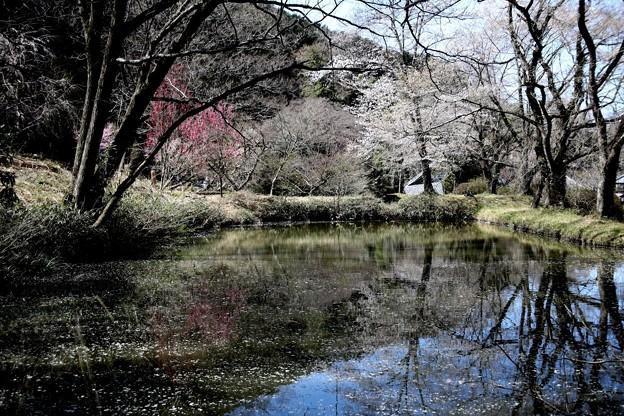 西光寺の池の桜風景