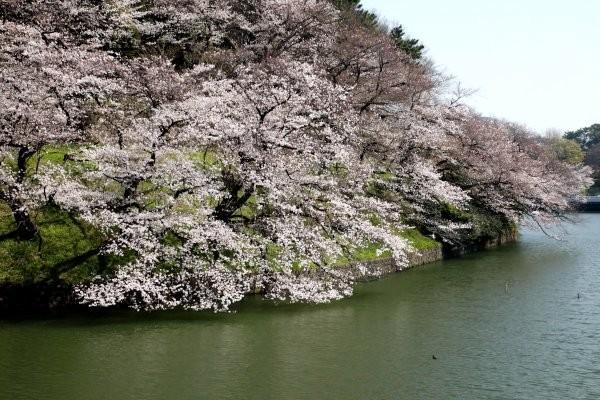 千鳥ヶ淵の桜1