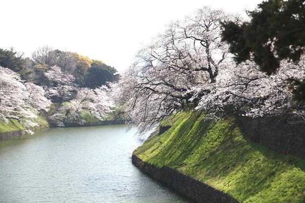 千鳥ヶ淵の桜A