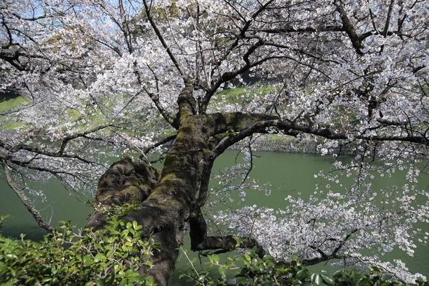 千鳥ヶ淵の桜B