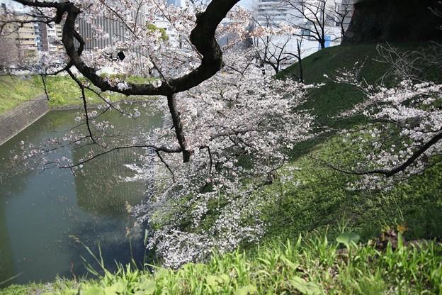 千鳥ヶ淵の桜C