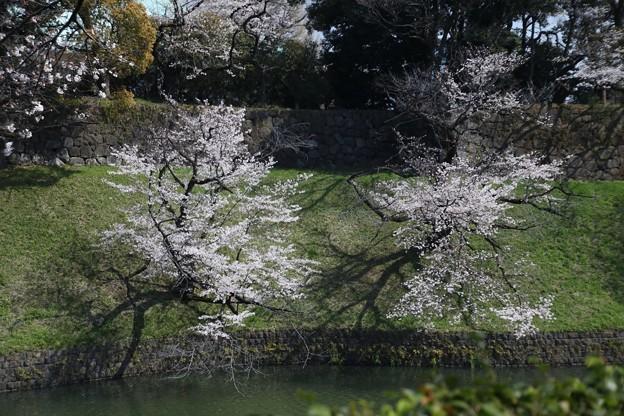 千鳥ヶ淵の桜D