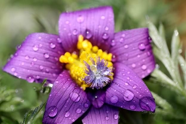 翁草開花の雫玉