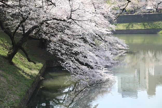 千鳥ヶ淵の桜E
