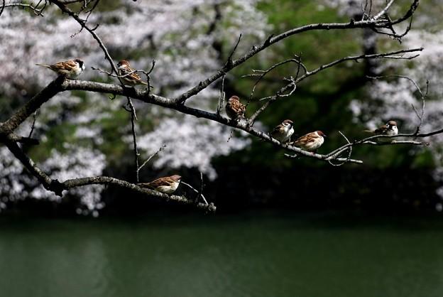千鳥ヶ淵の雀