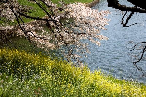 千鳥ヶ淵の桜G