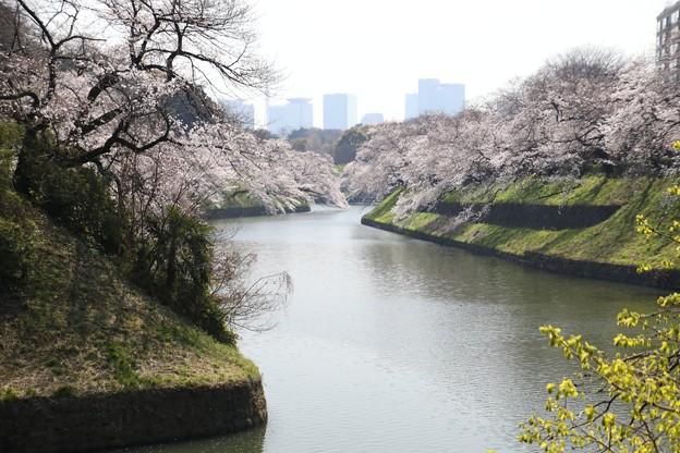 千鳥ヶ淵の桜H