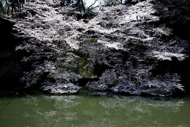 千鳥ヶ淵の桜I